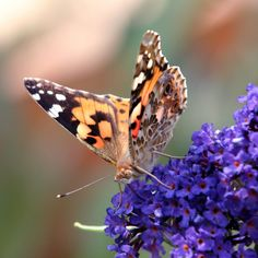 """Consider grabbing some """"Butterfly plants."""" Insects can either be a garden killer or a garden giver. Butterflies are one of many insects that help pollinate your plants! We have some of the best plants to attract butterflies to your garden. Go check it out, link in bio. #butterfly #butterflyplants #gardenscapes #pollinatorgarden #landscape_lovers #plantlove"""
