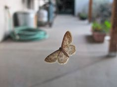 dawn #haiku: on the back door/ exquisite small moth/ wings like smoky air
