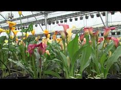 How To Grow Calla Lillies - YouTube
