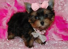 Beautiful babies Yorkie puppies now ready for sale