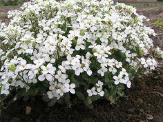 white perennial flowers - Google Search