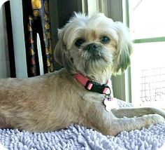 Redondo Beach, CA - Shih Tzu/Lhasa Apso Mix. Meet Ginger is very sweet!, a dog for adoption. http://www.adoptapet.com/pet/15405177-redondo-beach-california-shih-tzu-mix