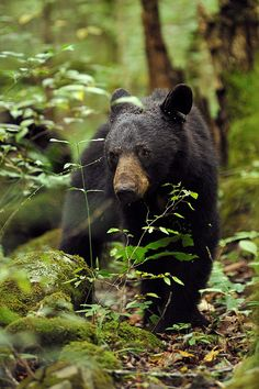 Smoky Mountain wildlife - This is a beautiful black bear. Have you seen one in Tennessee? #blackbear