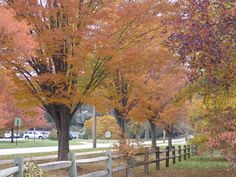 Japanese Zelkova - what a gorgeous tree - tall statuesque, great autumn colour - maybe one to be considered for an avenue down Aldinga Road.