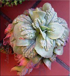 Echeveria gibbiflora carunculata | Lourdes | Flickr