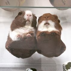 Look at their fuzzy tummies!! - Tito & Reno guinea pigs (@titorenogpigs)