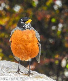 Robin on Rock