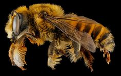 Credit: Sam Droege and the USGS Bee Inventory and Monitoring Lab A Megachile fortis bee from Badlands National Park, South Dakota.Prior...
