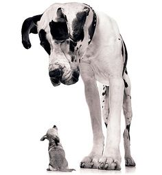 Great Dane looking down at chihuahua (B&W) Photo by Tim Flach Little Dogs, Big Dogs, Dogs And Puppies, Small Dogs, Funny Animal Pictures, Funny Animals, Cute Animals, Hilarious Pictures, Art Pictures