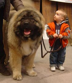 It is a giant and woolly dog that looks very pretty with its fluffy hair. The features of Caucasian Mountain Shepherd Dog or Caucasian Shepherd Dog are very Dogs And Kids, Big Dogs, Large Dogs, Cute Dogs, Russian Dog Breeds, Russian Dogs, Beautiful Dogs, Animals Beautiful, Cute Animals