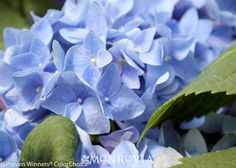 Monrovia's Let's Dance® Rhythmic Blue Hydrangea details and information. Learn more about Monrovia plants and best practices for best possible plant performance.