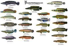 Kutuk / gabus Pleco Fish, Snakehead Fish, Fish Chart, Cichlid Aquarium, Tropical Fish Aquarium, Monster Fishing, Cool Fish, Types Of Fish, Fish Ponds