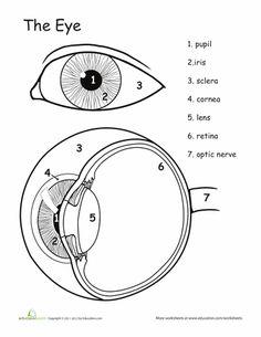 Worksheets: Awesome Anatomy: Eye See