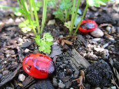 next ladybird