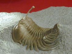 Russian Trilobite Cybele bellatula  Cybele bellatula   Trilobite Order Phacopida, Family Encrinuridae Russian Phacopid Trilobite   Geological Time: Lower Ordovician  Size: 45 mm  Fossil Site: Kunda Level deposits of the Wolchow River region near Saint Petersburg, Russia