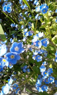 Forget me nots in May