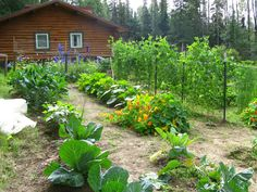 It's that time of year (mid-April) when the thoughts of many Alaskans turn to gardening. It's that way at our house in Two Rivers, northeast of Fairbanks, where my wife has already got things going for the growing season. This photo of our garden is from August 2011.