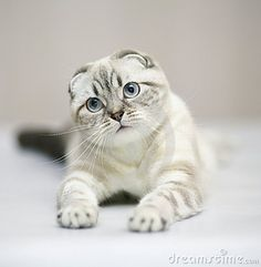 Scottish Fold beauty. I would love to have this pretty kitty as part of our family.