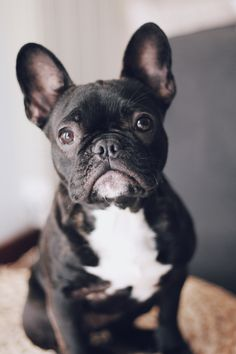 Discover The Adaptable French Bulldog Pup Exercise Needs French Bulldog Breeders, Brindle French Bulldog, Cute French Bulldog, French Bulldogs, Animals Beautiful, Cute Animals, Every Dog Breed, French Dogs, Bullen
