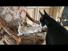 Cat Takes Over Great Dane's Favorite Chair - YouTube