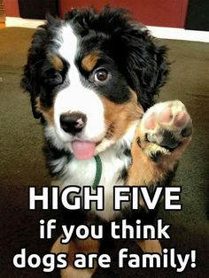 The Bernese signature move the high five ✋...they all do it!