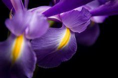 Iris by Jorge D'Onofrio on 500px
