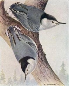 White-breasted Nuthatches, F.C.Hennessey, Birds of Western Canada, P.A.Taverner, 1926
