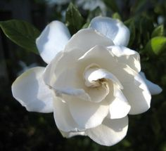 How To Care For Your Gardenia Plant