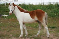 Gotland Pony - colt Nummen Jimmy (Juter KL - Allgunnens Timmie - Quito) | via Sukuposti