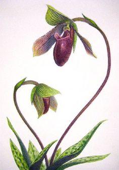 Orchid Passion (by Samuel Pressman)