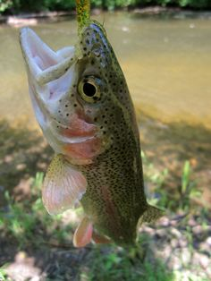Canadian farmed rainbow trout - aquaculture.ca (click-through, pic from elsewhere).