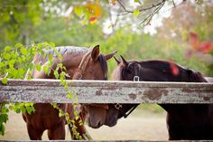Color photograph of two horses behind the fence. Gentle touch.
