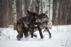 Grey Wolves (Canis lupus) dominance play - captive animals Holly Kuchera photo taken: Big Dogs, Werewolf, Grey Wolves, Creatures, Wolfdog, Animals, Husky, Moon, Play