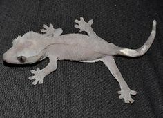A grey crested gecko who hatched out black.