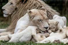 Adorable Rare Quintuplet White Lion Cubs Play Together In Enclosure - CutesyPooh Beautiful Lion, Animals Beautiful, Beautiful Family, Big Cats, Cats And Kittens, Siamese Cats, Pumas, Rhino Animal, Lion Photography