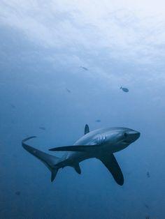 Thresher shark 7 by Raven_Denmark
