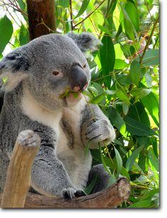 Koala bear (Australia)