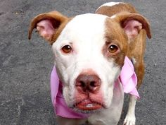TO BE DESTROYED - 09/08/14 Manhattan Center -P My name is REINA. My Animal ID # is A1012706. I am a spayed female tan and white pit bull mix. The shelter thinks I am about 9 MONTHS old. I came in the shelter as a OWNER SUR on 09/02/2014 from NY 10457, owner surrender reason stated was PERS PROB. https://www.facebook.com/Urgentdeathrowdogs/photos/a.611290788883804.1073741851.152876678058553/865818760097671/?type=3&theater