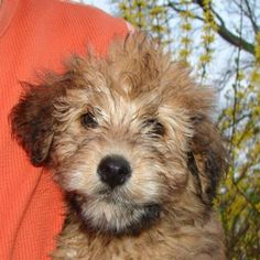 Whoodle - wheaton terrier and poodle mix :)