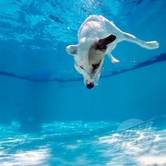 Jack Russell dog diving into pool