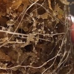 These are the roots of the bladder wort  the little sacs or bladders are the trapping mechanism of the plant where micro organisms are digested  enjoy !! #utricularia #bladderwort #botany #botanical #horticulture #ct #carnivora #carnivore #carnivorousplant #carnivoroustagram #carnivoras #californiacarnivores #plantas #plantes #plants #grow #garden #nature #naturelovers #natureobsessed #plantswithbite #plantsofinstagram #roots #science #instadaily #carnivorousplants by rickywaitetattoo