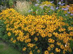 RUDBECKIA fulgida 'Goldsturm' - Solhat, farve: gul/mørkt øje, lysforhold: sol, højde: 60 cm, blomstring: august - september, god til afskæring, god til bier og andre insekter.