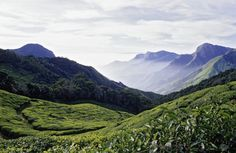 reinopin: Tea fields of Munnar, Southern India