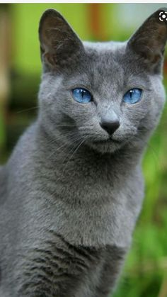 Grey Cats, Blue Cats, Maine Coon, Beautiful Cats, Animals Beautiful, Russian Blue Kitten, Animals And Pets, Cute Animals, Cat With Blue Eyes