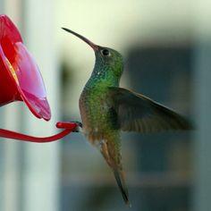 Gardening for Hummingbirds