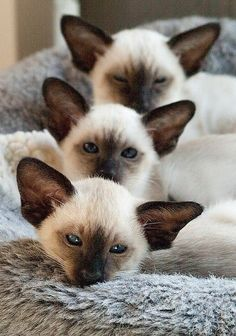 Triple Siamese Cats In a Row
