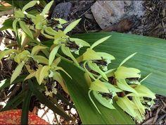Coelogyne pandurata Vegetables, Plants, Youtube, Flowers, Bedroom, Vegetable Recipes, Plant, Youtubers, Veggies