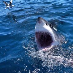 I've just come up to say 'hello'. The Great White, Great White Shark, Orcas, Shark Pictures, Shark Pics, Shark Bait, Great Fear, Big Fish, What Is Life About