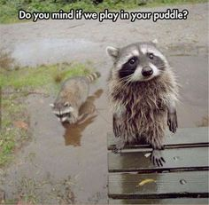 Must See Funny Raccoon Pictures