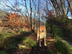 #shiba #inu #shibainu #shibagirl #shibainulove #dogsofinstagram #redshiba #forest #favplace #onawalk #dog #piesel #freetime #goodtime #happydog #pictureoftheday